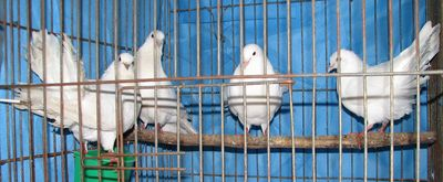 whitefantailpigeons