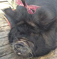 kunekune-kimmie-with-hair-ribbon-kelli-b